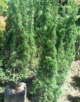 Jual pohon cemara lilin tinggi 100cm