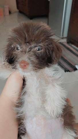 Anjing ThinTzu lucu