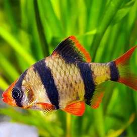 Barb fish for sale