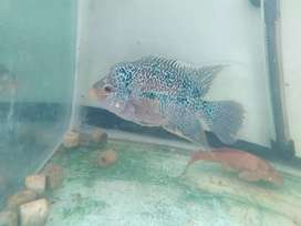 Egg laid kml female for sale