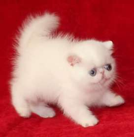 Good quality Persian kitten for sale