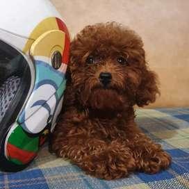 Red toy poodle anak anjing (keturunan taiwan)