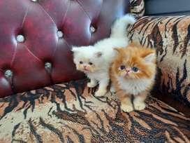 Kitten peaknose