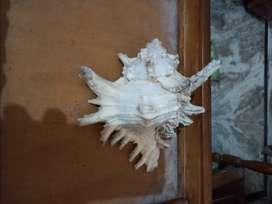 Shankhs or Shells