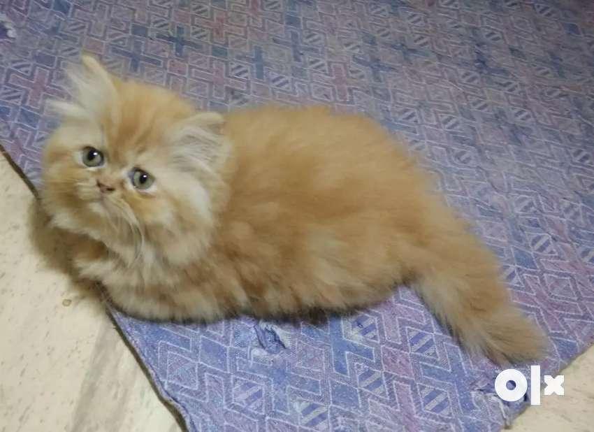 flat face Persian kitten 0