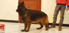 Remo blood line pedigiree beutiful male of 19 month old is for sale
