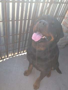Rottweiler available for stud
