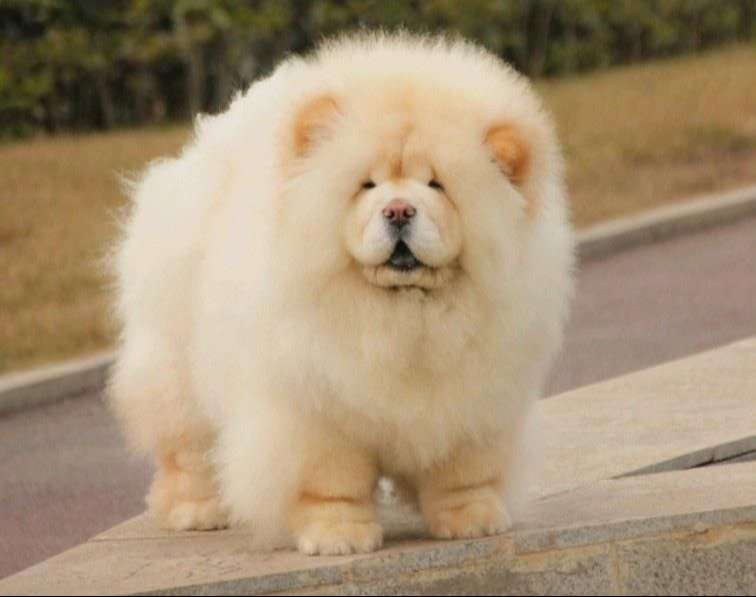 Chow chow male puppy 0