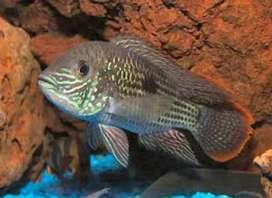 Healthy Green Terror Fish. Single