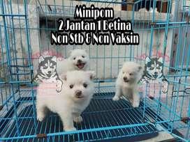 Minipom non Stambum