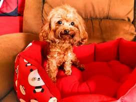 Red Poodle TERKECIL SE-INDONESIA (Real Tea Cup)