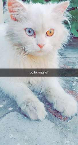 Persian White Male Cat For Sale