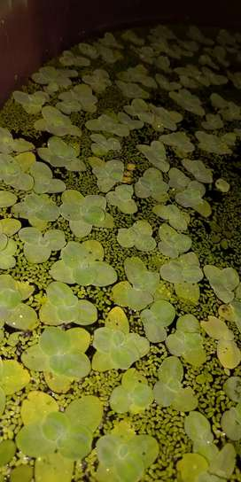 Dwarf Water Lettuce Available For Sale