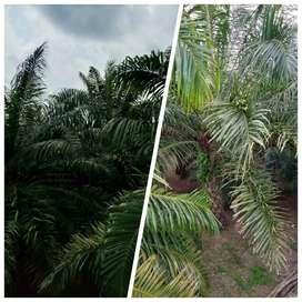 Kebun Sawit Muda 70 Hektar Dijual, Di Pandeglang Banten