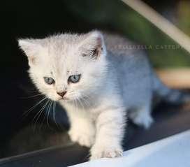 Kucing british shorthair silver tabby jantan