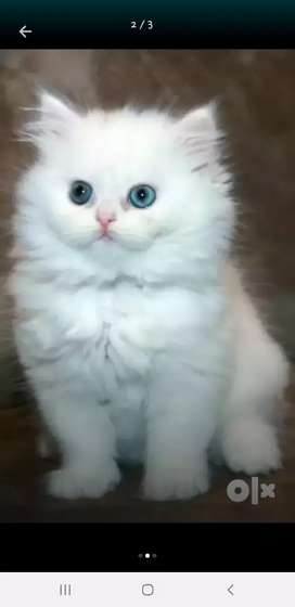 Persian cats for sell...