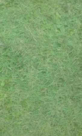 Rumput taman gajah mini..