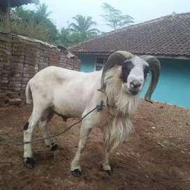 aqiqah domba kambing