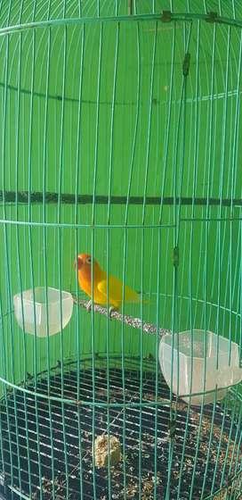 Burung lovbet dewasa