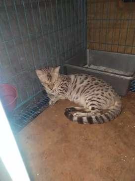 Ngawini Kucing persia garansi hamil Bukan jual kucing