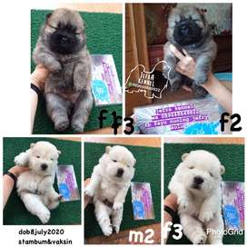 anjing chow chow jefra petshop