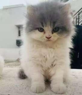 Arabic Persian Cat's are available in Chhattisgarh