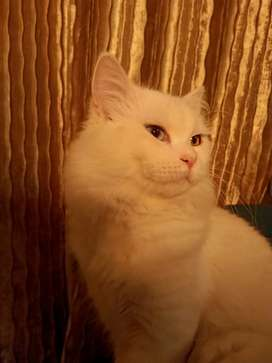 Persian triple coat cat white colour