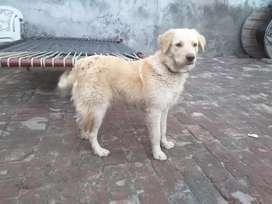 Labrador dog with cros of Russian dog