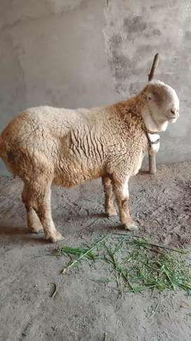 Male sheep for sale