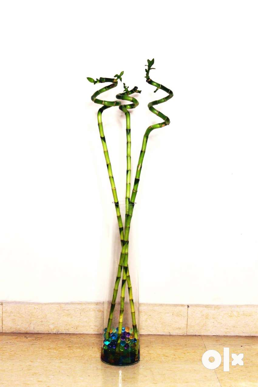 Spiral/Dancing Lucky Bamboo Plant 90cm – 3 Sticks with Glass Pot 0