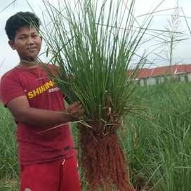 Jual bibit vetiver akar wangi bagus untuk pencegahan erosi