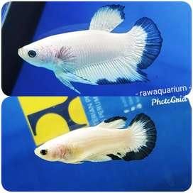 Ikan cupang blue rim sepasang mantul