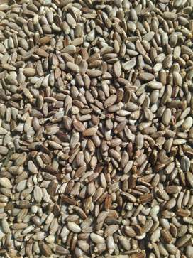 Milk Thistle seeds اونٹ کٹارا  Rs  4000 per Kg excluding  courier