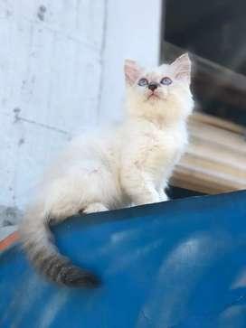 Kucing kitten persia himalaya