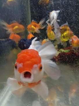 Ikan mas koki red cup & black oranda orign