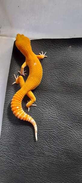 Gecko sunglow,male,uk 20cm sehat ..makan rakus,warna  cerah