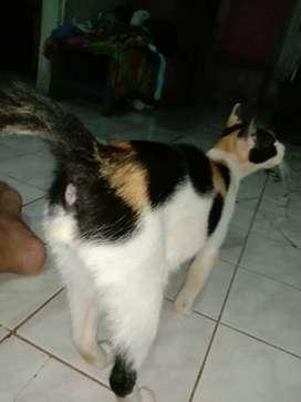 Kucing calico telon jantan/kembang telon langka
