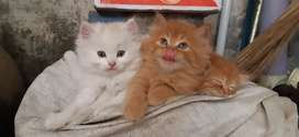 Persian Kittens 45 days Old