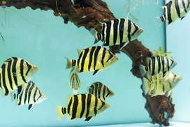 Indonesia monster fish