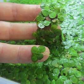 Greater duckweed, floating aquatic plant for aquariums, ponds, fodder