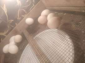 We keep your eggs in hatchery and when the egg hatch we send it to you