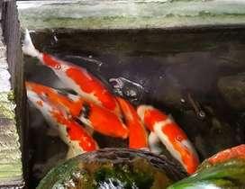 Ikan koi 4 buah, uk 30-40cm