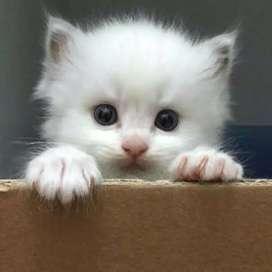 PURE PERSIAN KITTEN CAT BLUE EYES SIAMESE CALICO SIBERIAN MAINECOON