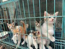 Kitten/anak kucing persia mix (campuran)