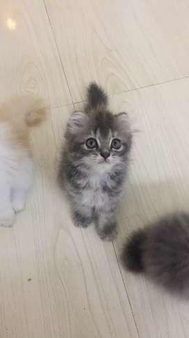 Heavy bone Persian cat long coat kitten