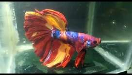 Ikan cupang halfmoon nemo galaxy line giant