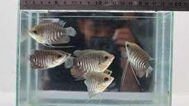 Menjual benih ikan konsumsi