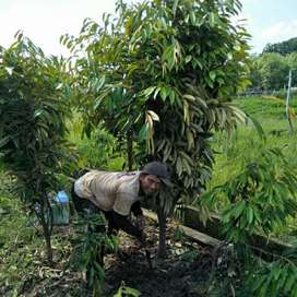 bibit durian musang king 2 meter lebih