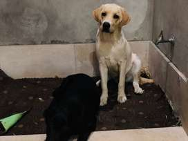 Labrador pair for sale 5.5 months old