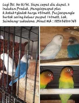 Love bird indukan